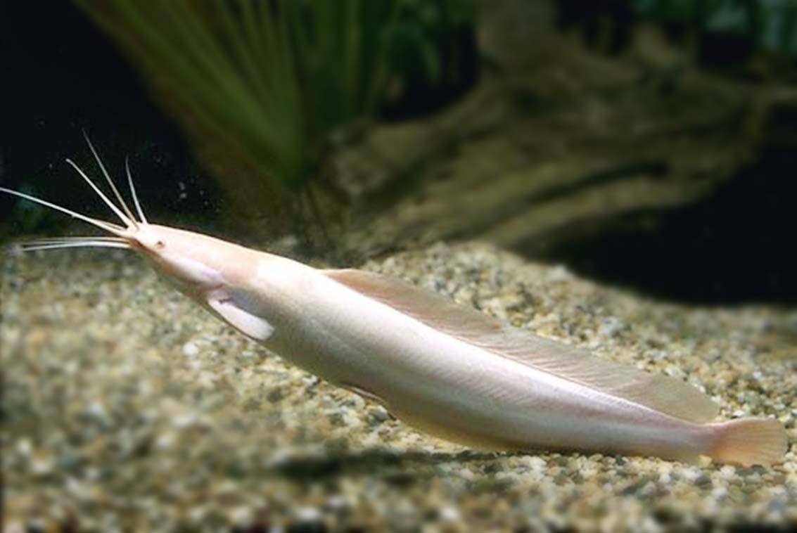 Albino Walking Catfish - photo#15