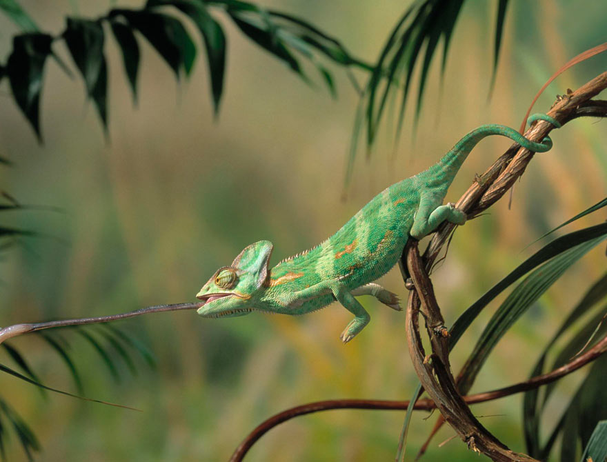 an introduction to the nature of the chamaleo calyptrus The veiled chameleon (chamaeleo calyptratus) hawaii and florida in the usa after introduction through animal's arboreal nature and their ability to modify.
